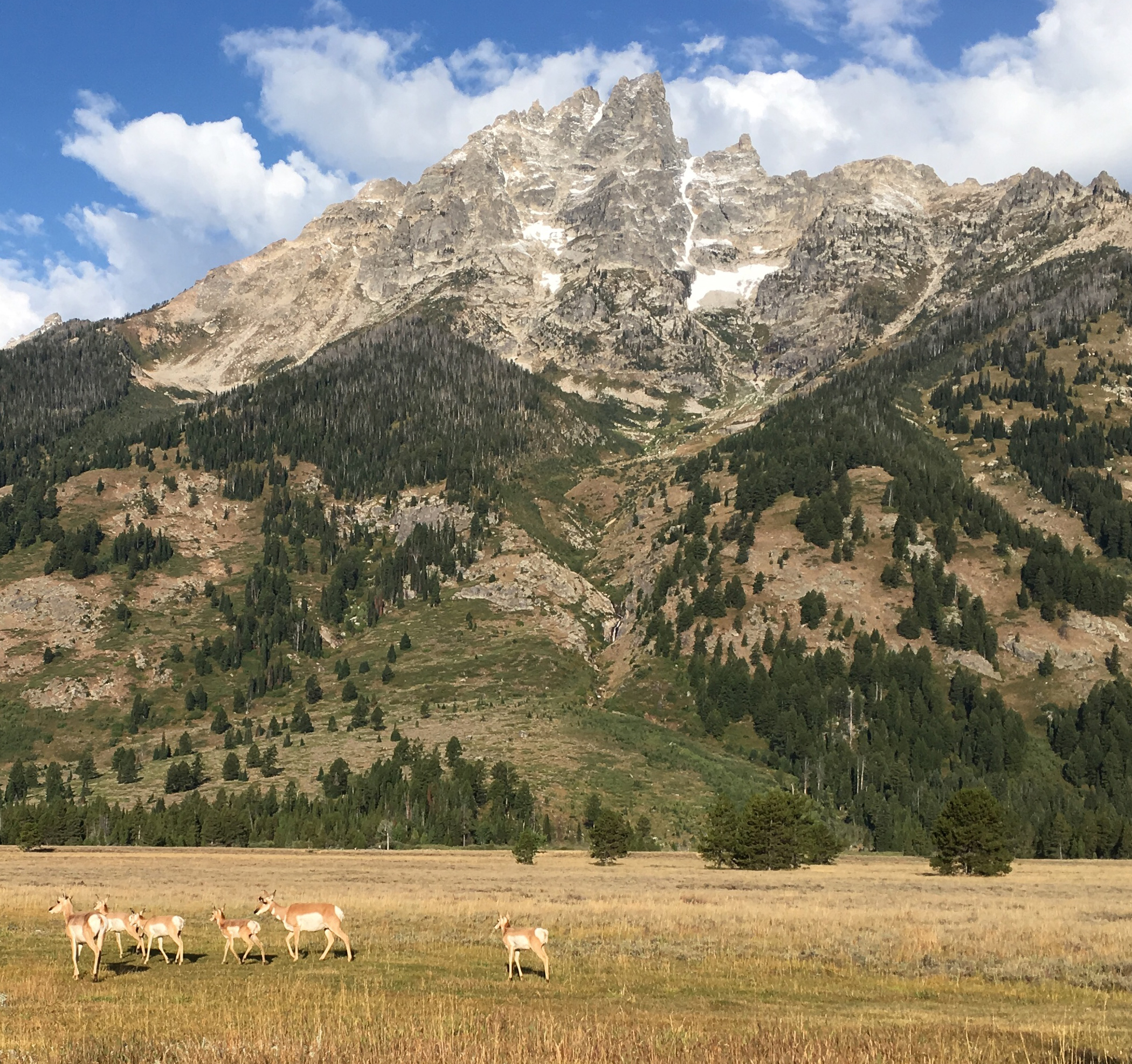 Lupine Meadows, Teewinot, and pronghorn